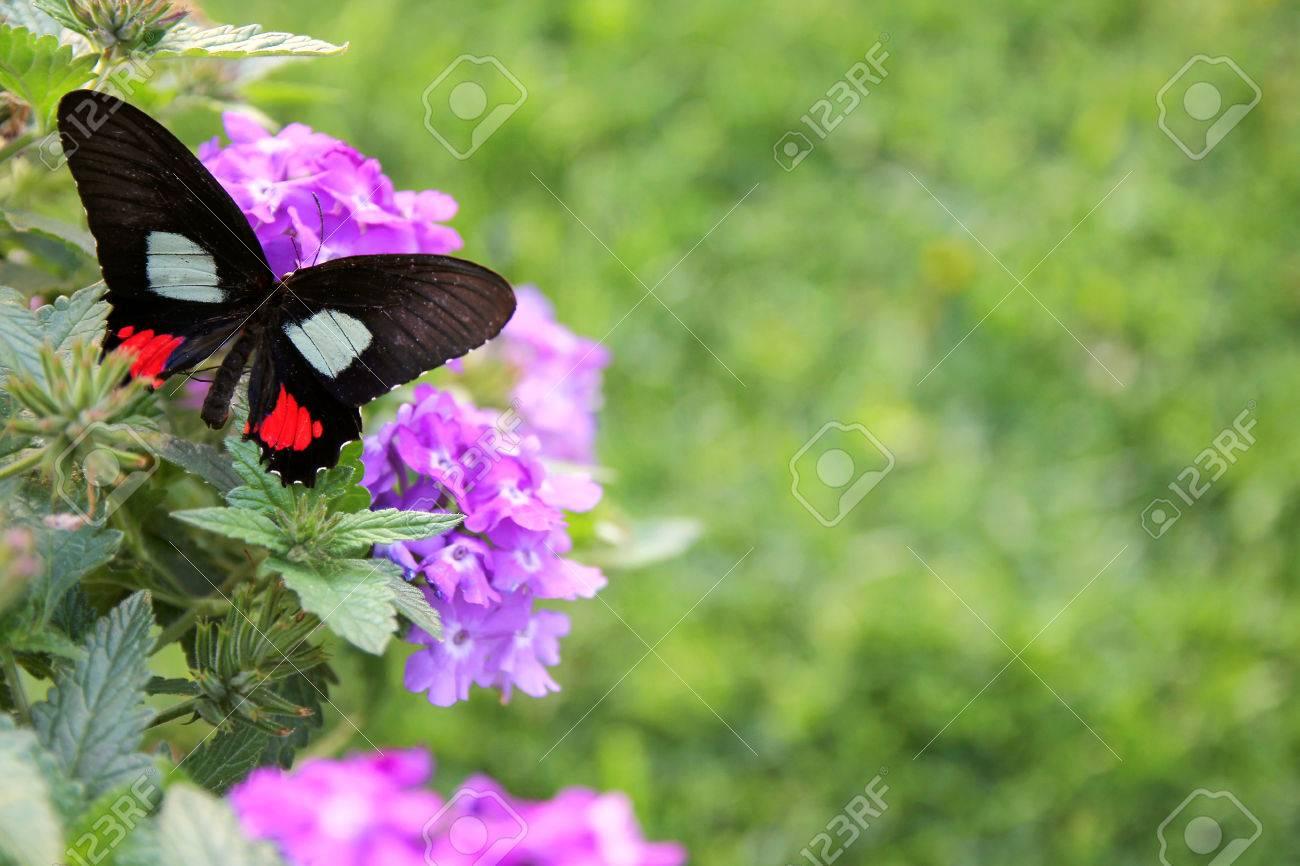 Una Mariposa De Color Negro Con Manchas Blancas Y Rosadas Está ...