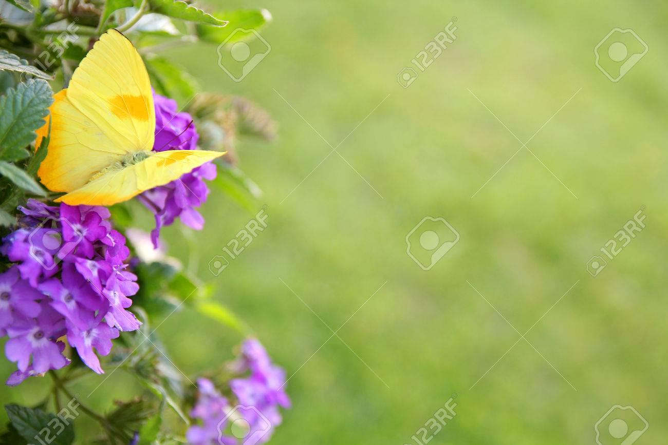 Una Mariposa De Color Sulfer Barrada Naranja-amarillo Está Sentado ...