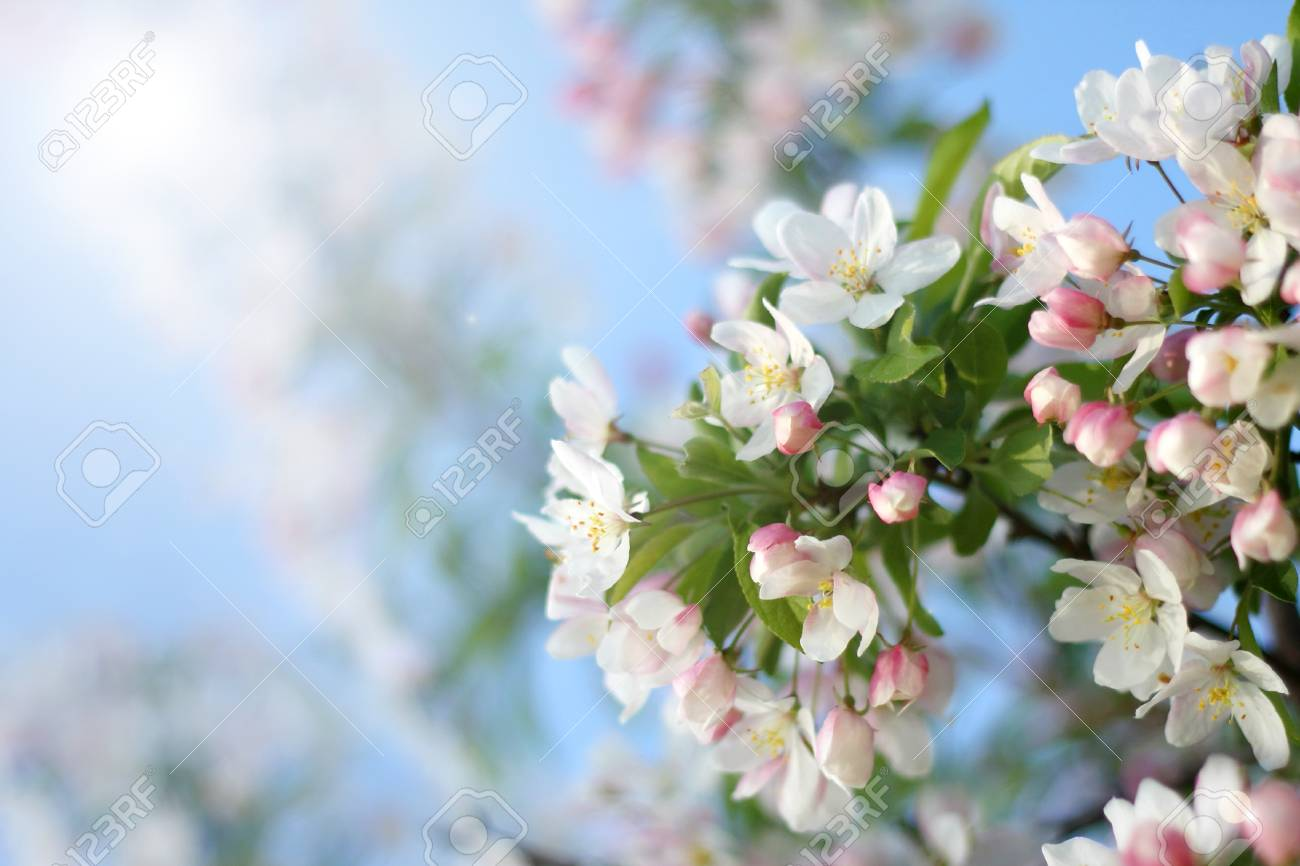 The White Flowers And Pink Blossoms Of A Snowdrift Crabapple Stock