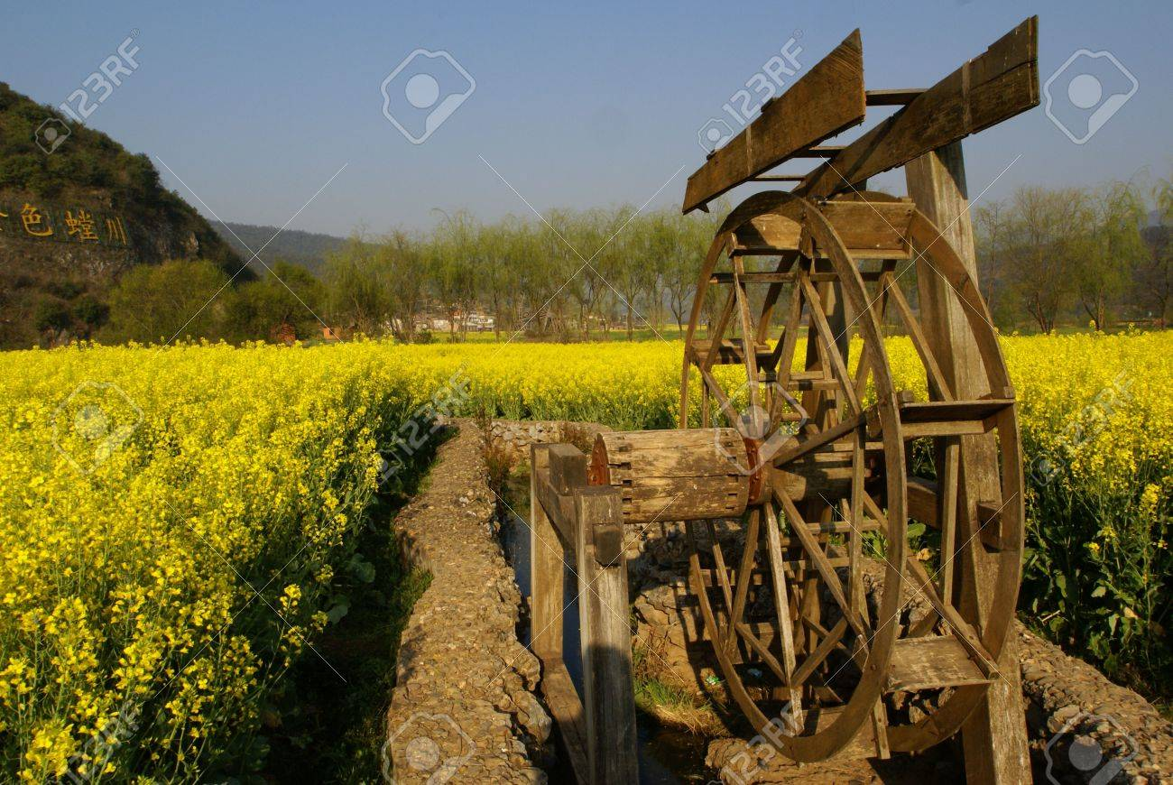 Yellow Flower Farm With A Water Wheel In A Rural Area Of China