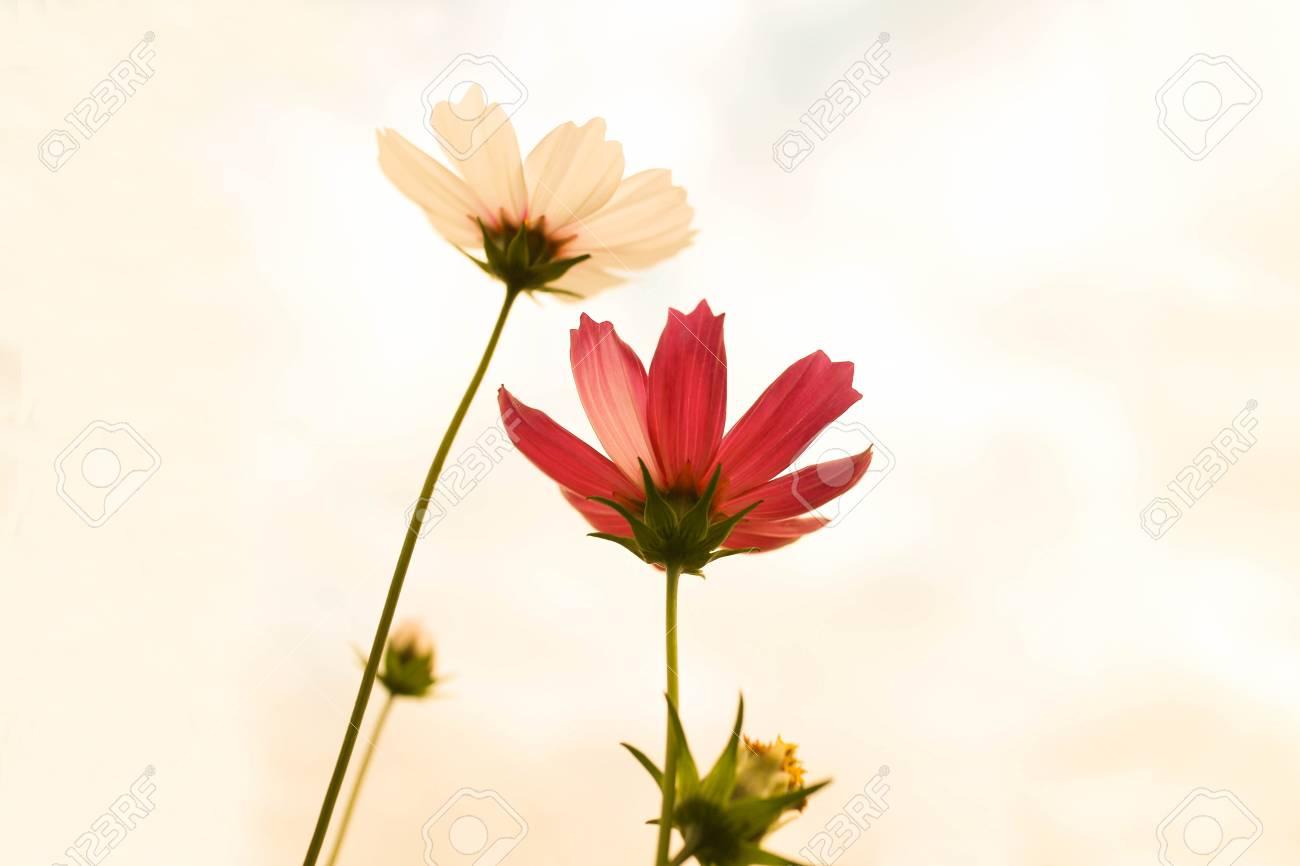 Dreamy Wild Flowers Panorama. Sweet Pastel Color Petal White.. Stock ...