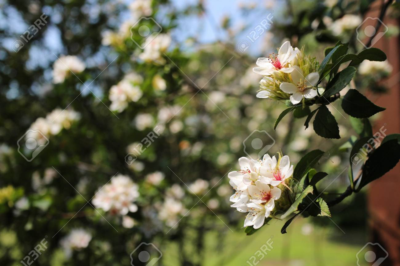 White Flowers On The Trees With Green Background In Japan Stock