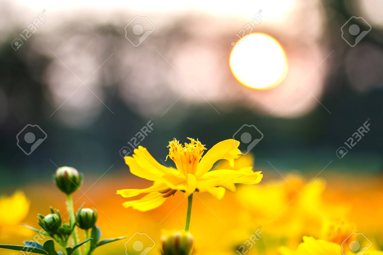 Beautiful Landscape Flowers Yellow At Sunset On Summer Background