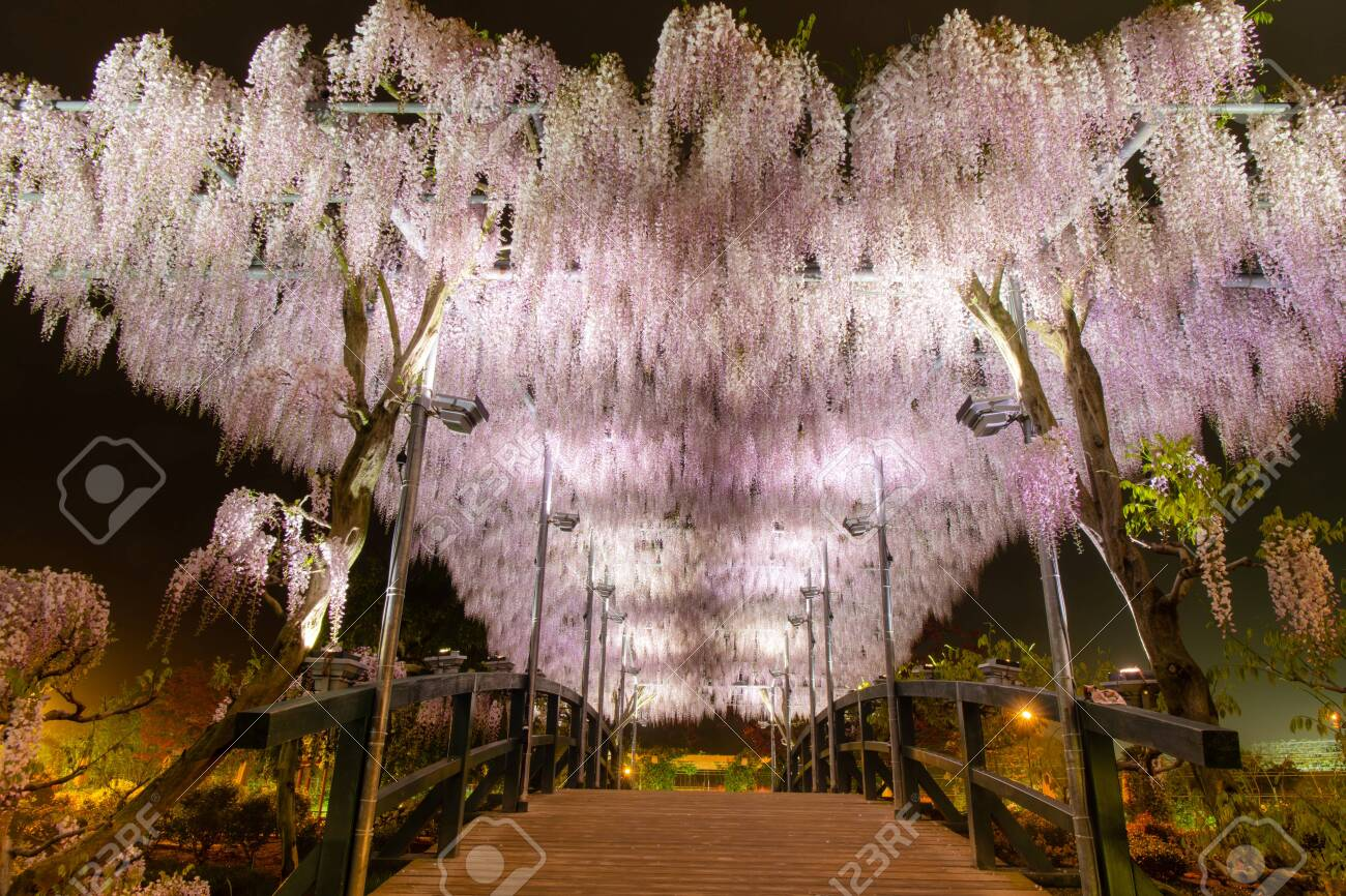 Beautiful View Of White Japanese Wisteria Blossom Tree At Night Stock Photo Picture And Royalty Free Image Image 135453101