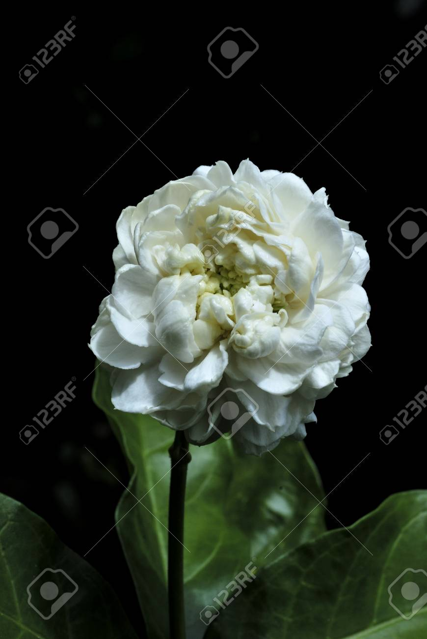 Jasmine Flower Stock Photo Picture And Royalty Free Image Image