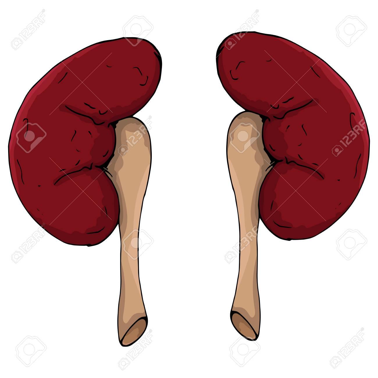 Human Kidneys Vector Illustration Of A Kidney Man Human Anatomy