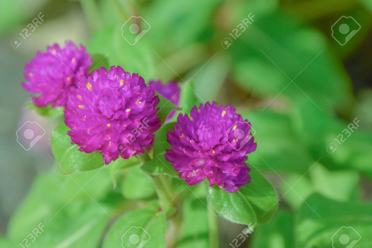 El Amaranto Es Una Planta Bienal Del Género Amaranthus Flores Son De ...