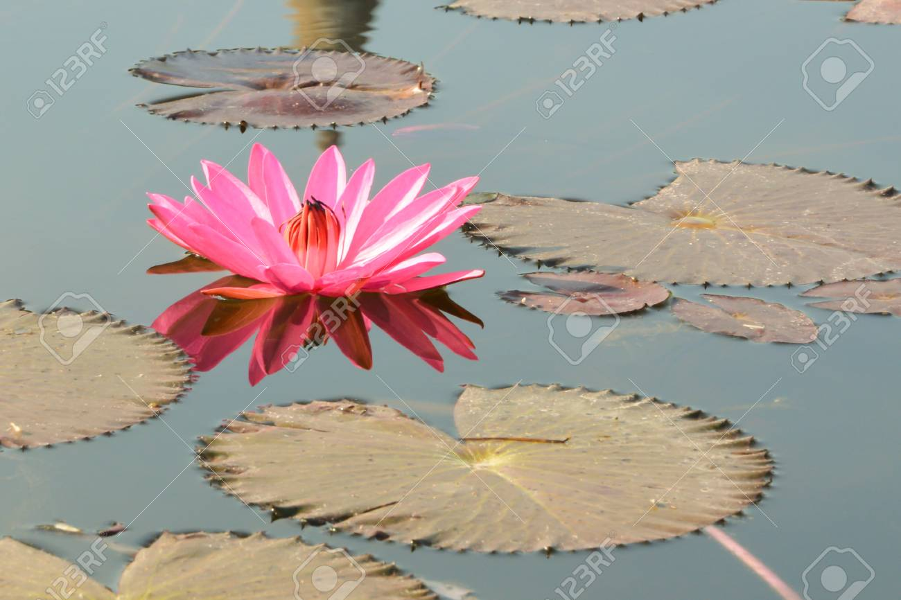 Water Lilies Are Among The Most Primitive Dicotyledons Features