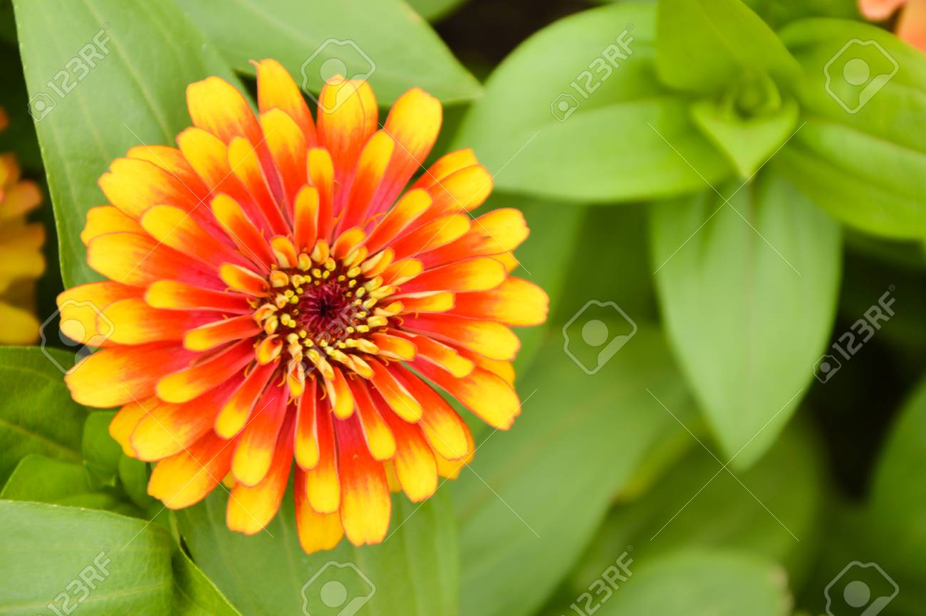 Zinnia Flowers Are Commonly Grown Ornamental Species. Especially ...