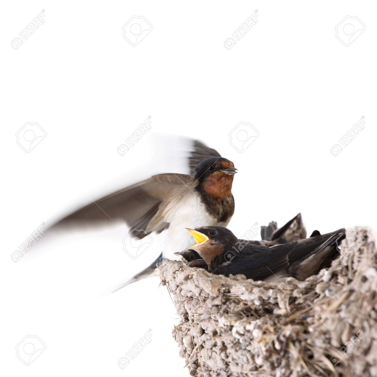 Swallow Nest With Hungry Nestlingsand Feeding A Flying Stock Photo