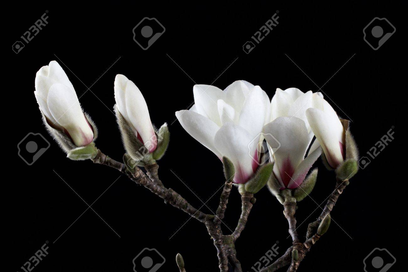 White Magnolia Flower With Black Background Stock Photo Picture And