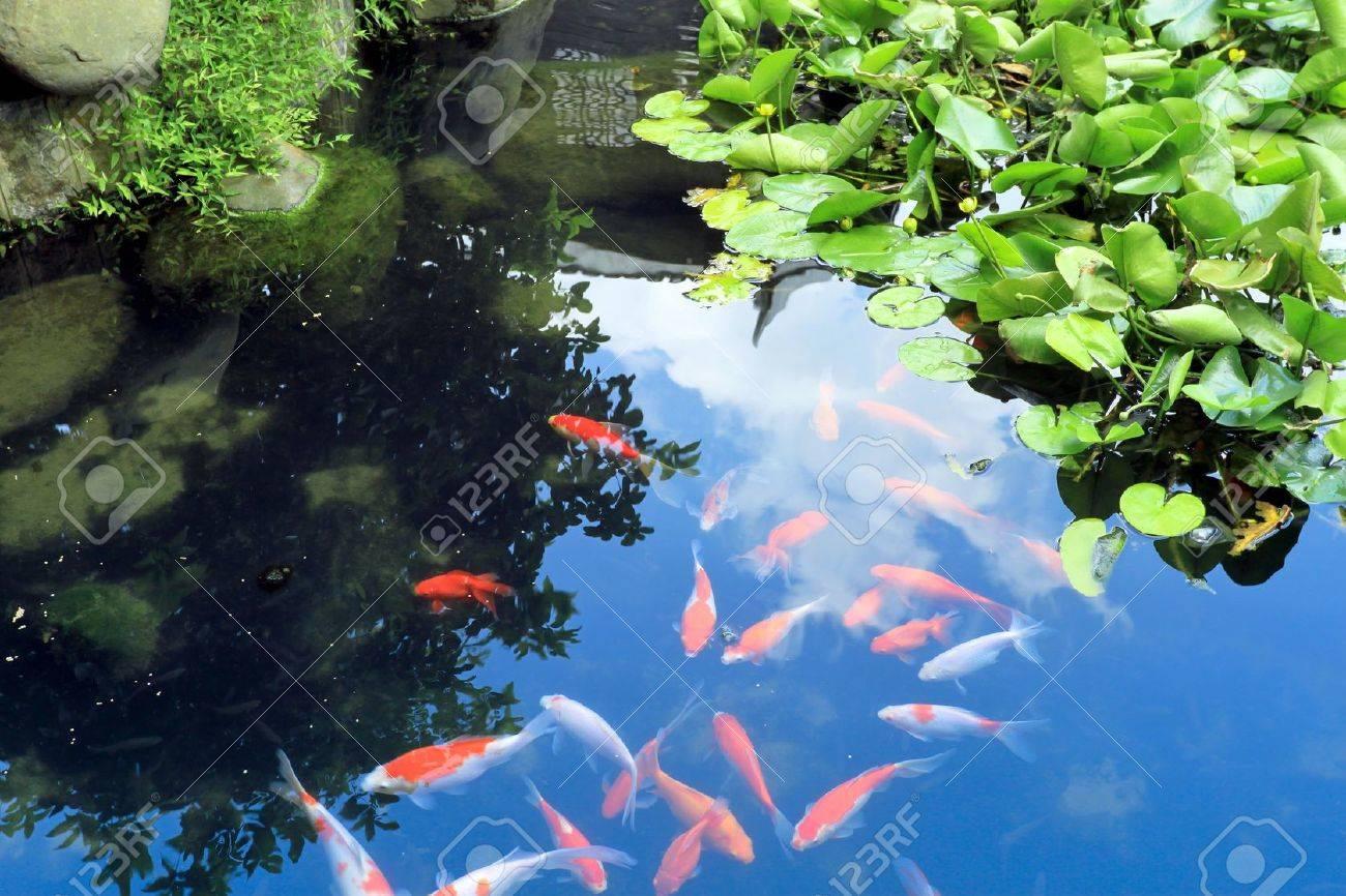 koi hermosa en el estanque de jardn tradicional foto de archivo