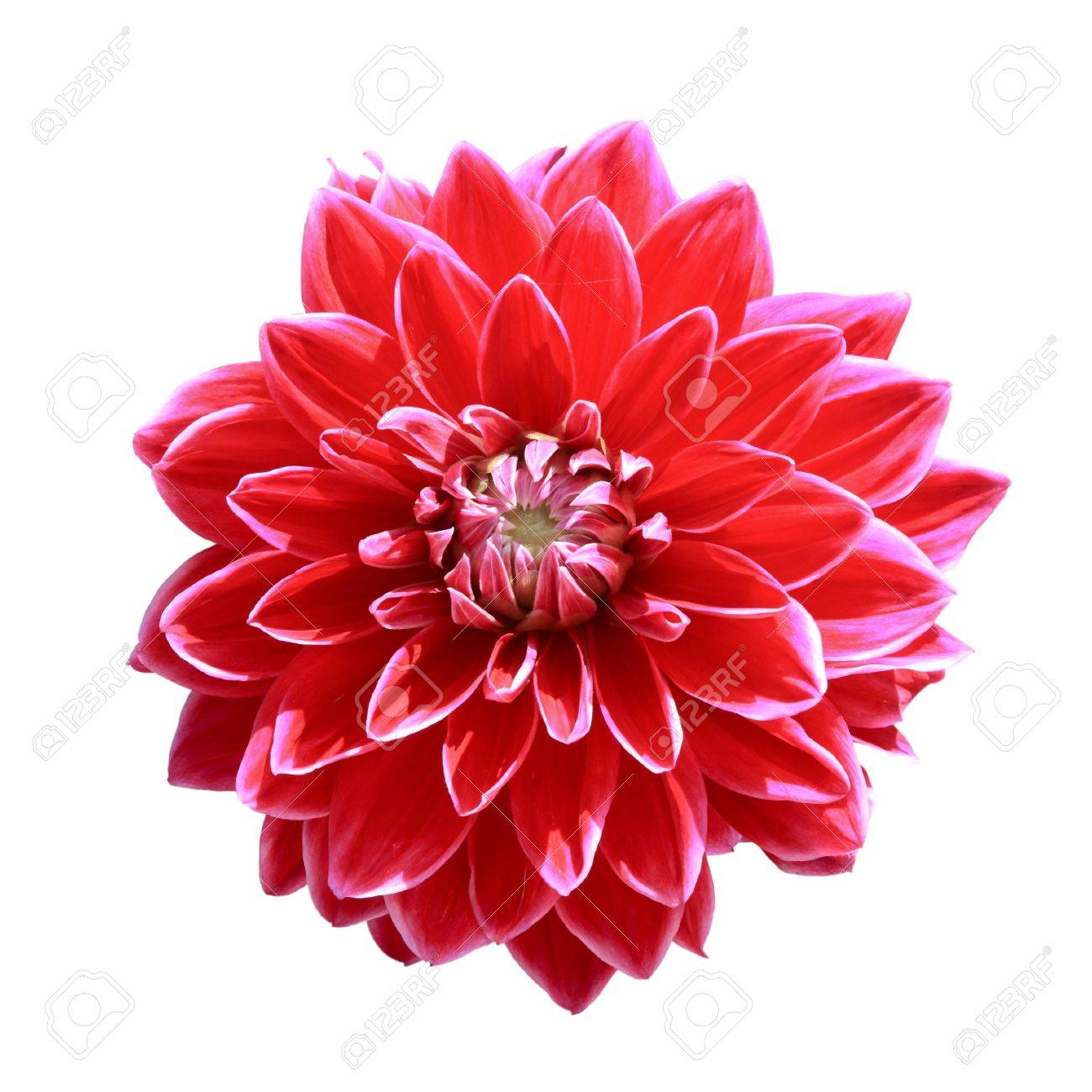 Dahlia flower stock photos royalty free dahlia flower images red dahlia flower isolated on white izmirmasajfo