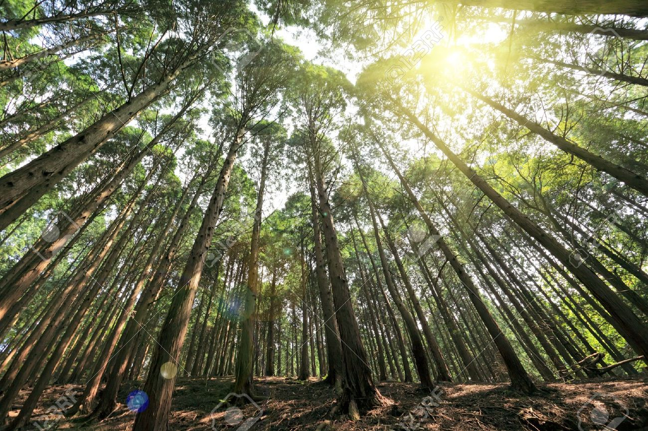 Pictures of cedar trees - Stock Photo Tall Cedar Trees With Sunshine In The Forest