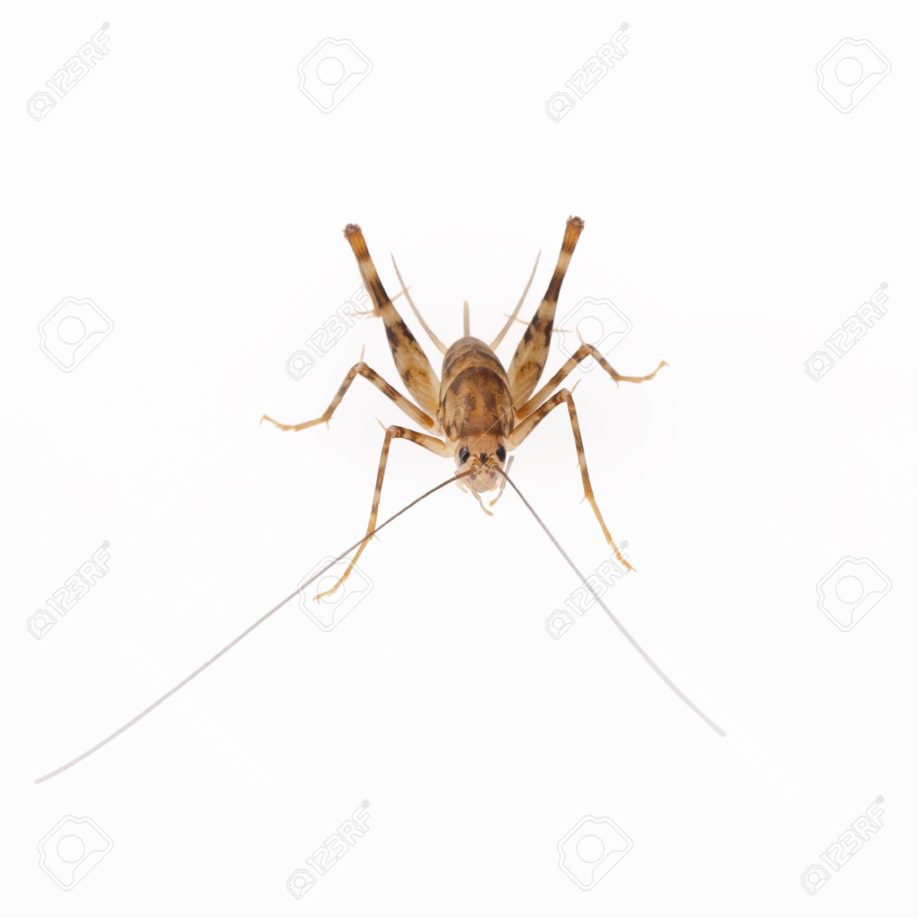 cricket spider it is characterized in part by long antennae and