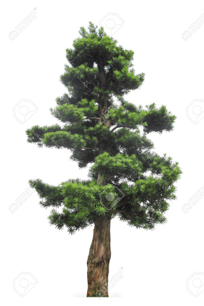 yew podocarpus with white background,buddhist pine is highly regarded as a feng shui tree in Hong Kong Stock Photo - 14896617