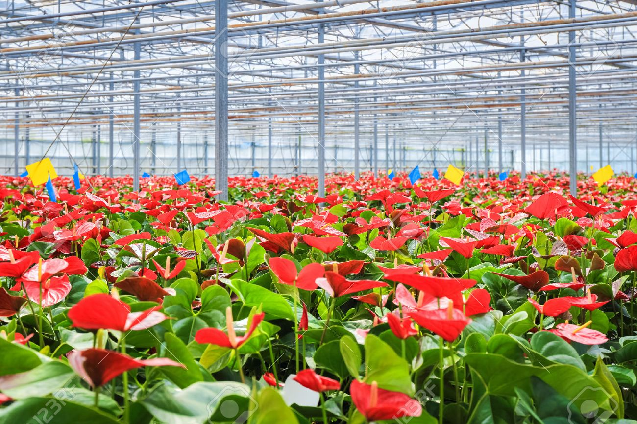 red anthurium flowers grow in the greenhouse , modern concept