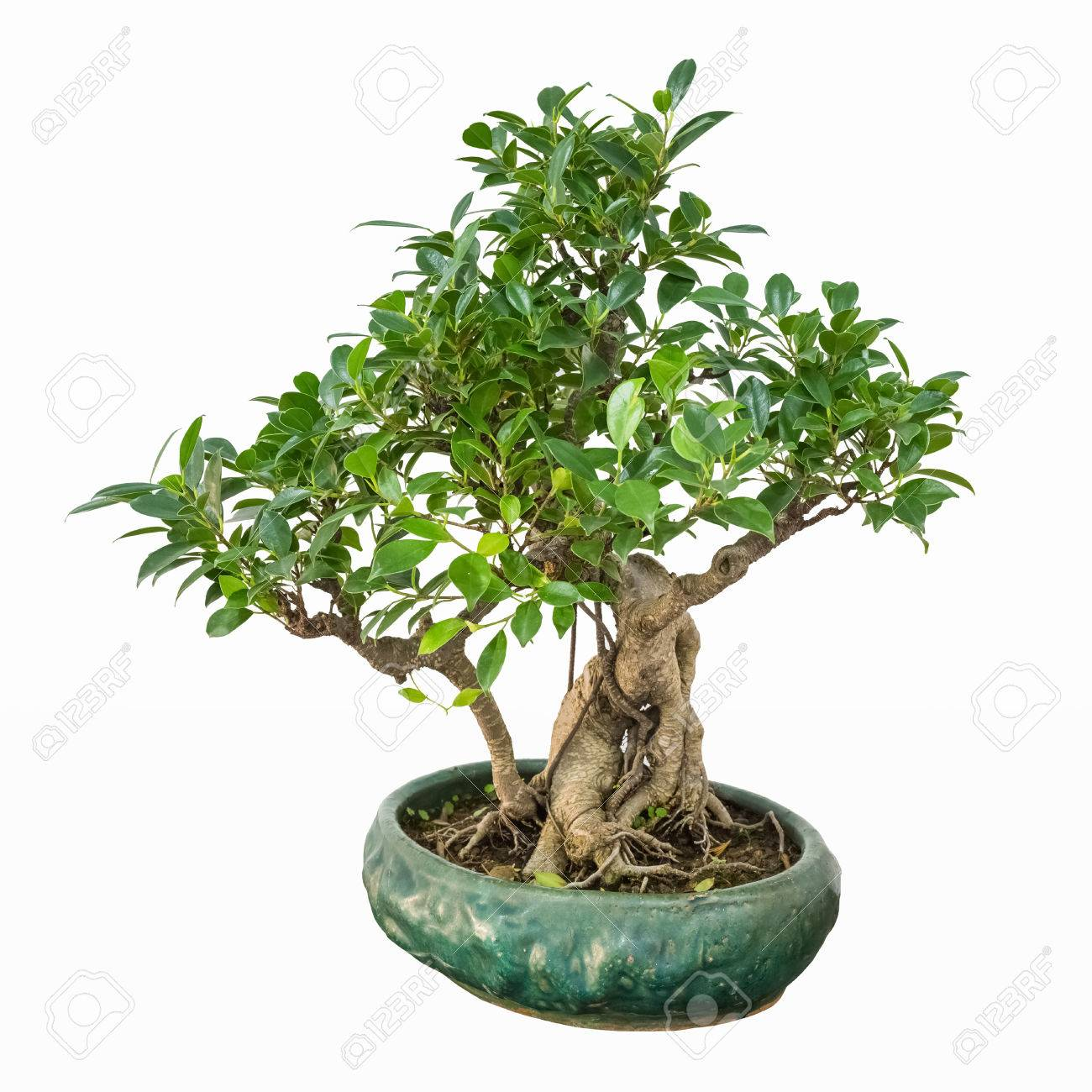 Bonsai Tree Of Banyan With A White Background Stock Photo Picture