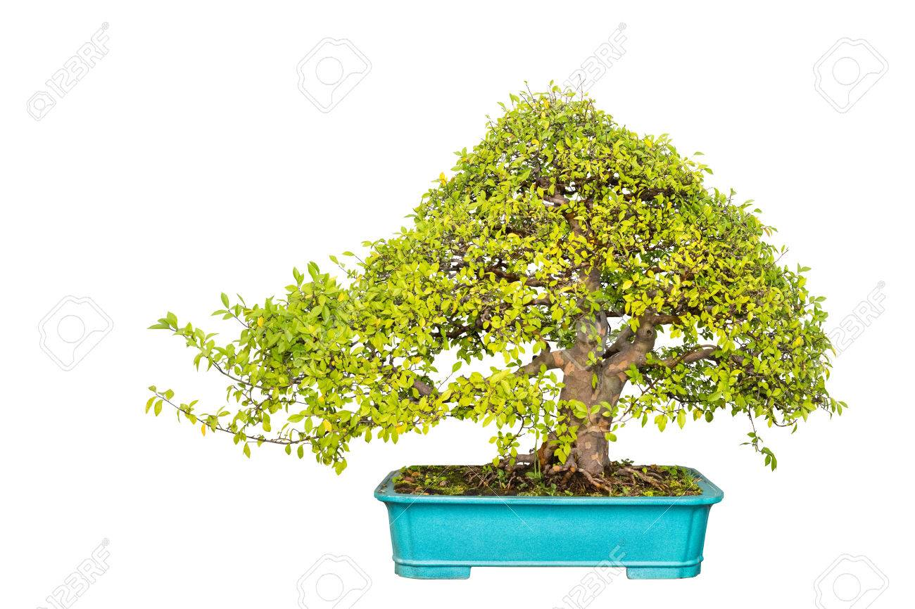 Bonsai Tree Of Chinese Elm With A White Background Stock Photo
