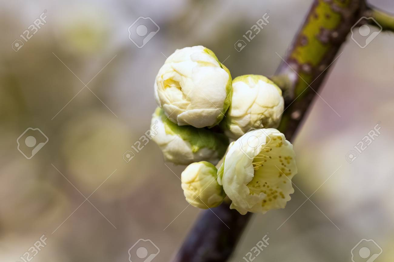 Flower bud of the white plum blossom in early spring stock photo flower bud of the white plum blossom in early spring stock photo 72016387 mightylinksfo
