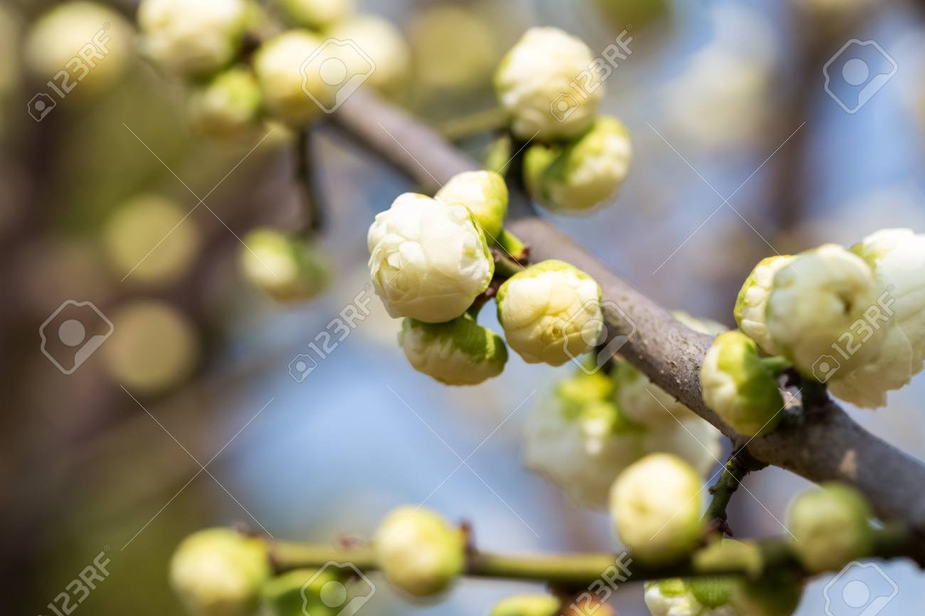 Flower bud of the white plum blossom in early spring stock photo flower bud of the white plum blossom in early spring stock photo 72016388 mightylinksfo