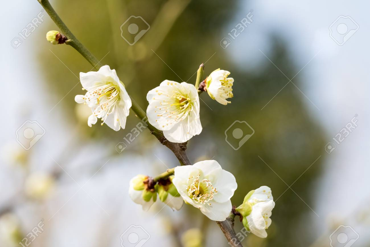 Closeup of the white plum blossom blooming stock photo picture and closeup of the white plum blossom blooming stock photo 72016398 mightylinksfo