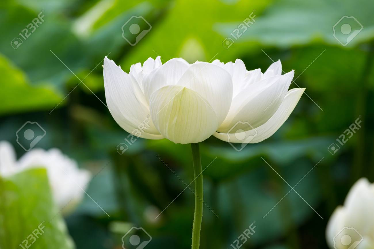 White lotus flower bloom closeup symbol of the pure buddha stock stock photo white lotus flower bloom closeup symbol of the pure buddha izmirmasajfo Image collections
