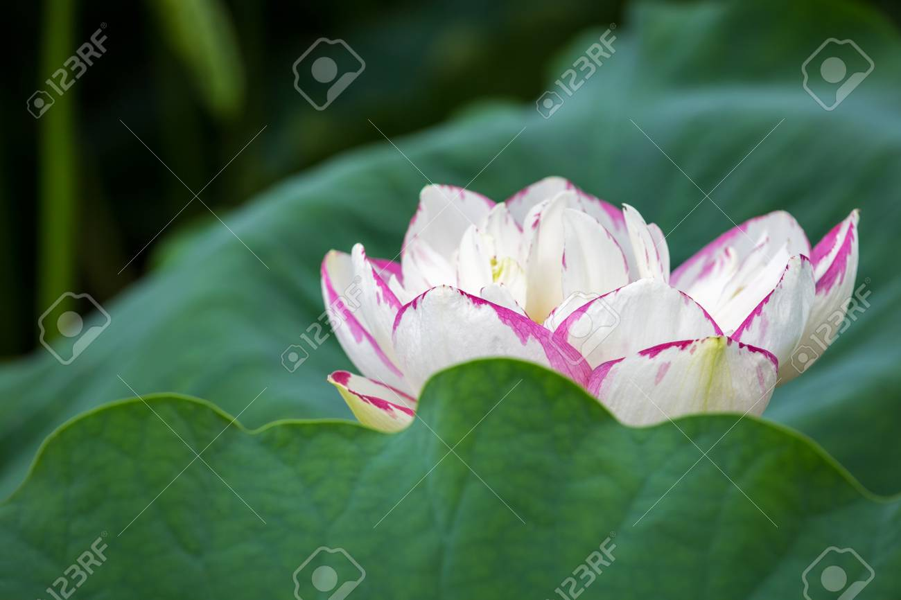 Closeup Of The Buddha Lotus Flower Bloom Stock Photo Picture And