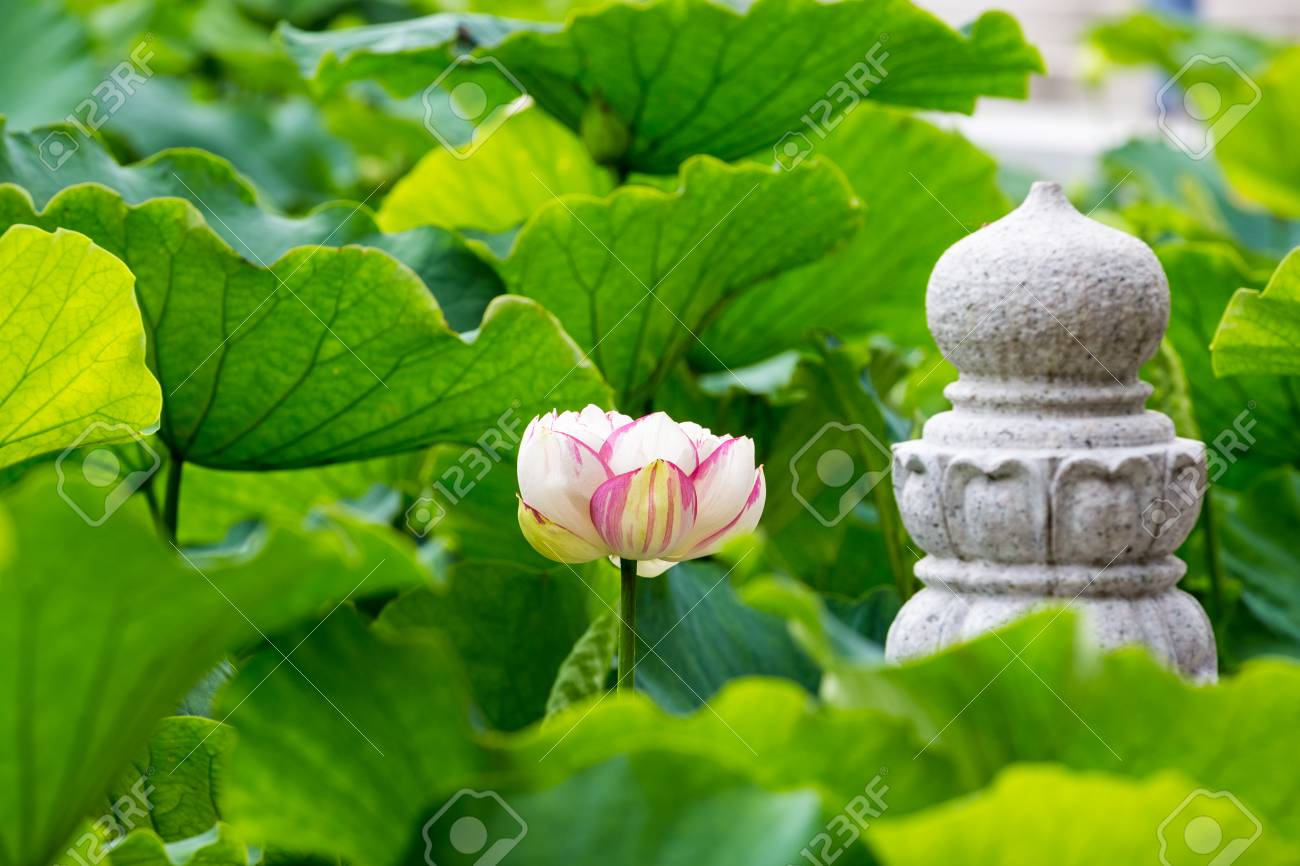 Lotus Flower Bloom In Pond Of The Temple Symbol Of The Buddha Stock