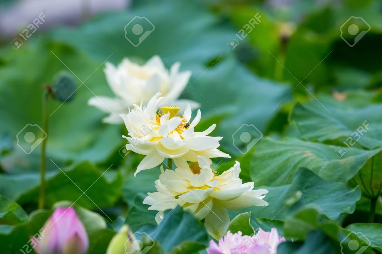 Beautiful Lotus Flower In Full Bloom In Summer Pond Stock Photo