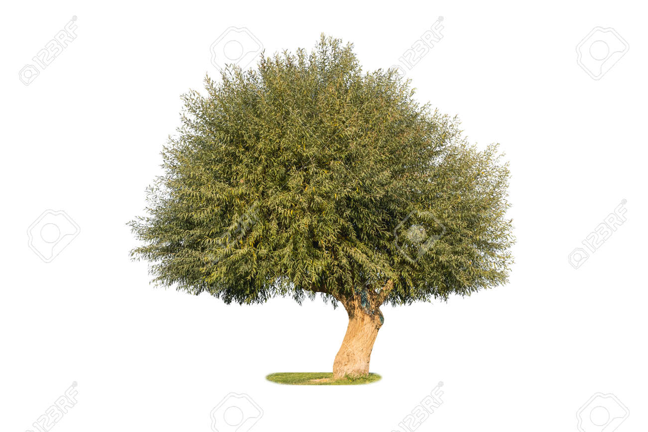 dry land willow isolated on white background, a species of willow native to dry areas of northern China - 161095233