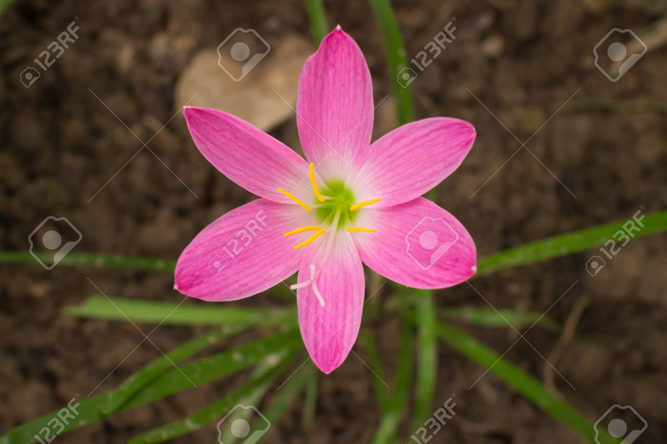 The Purple Rain Lily Flower In Thailand Stock Photo Picture And