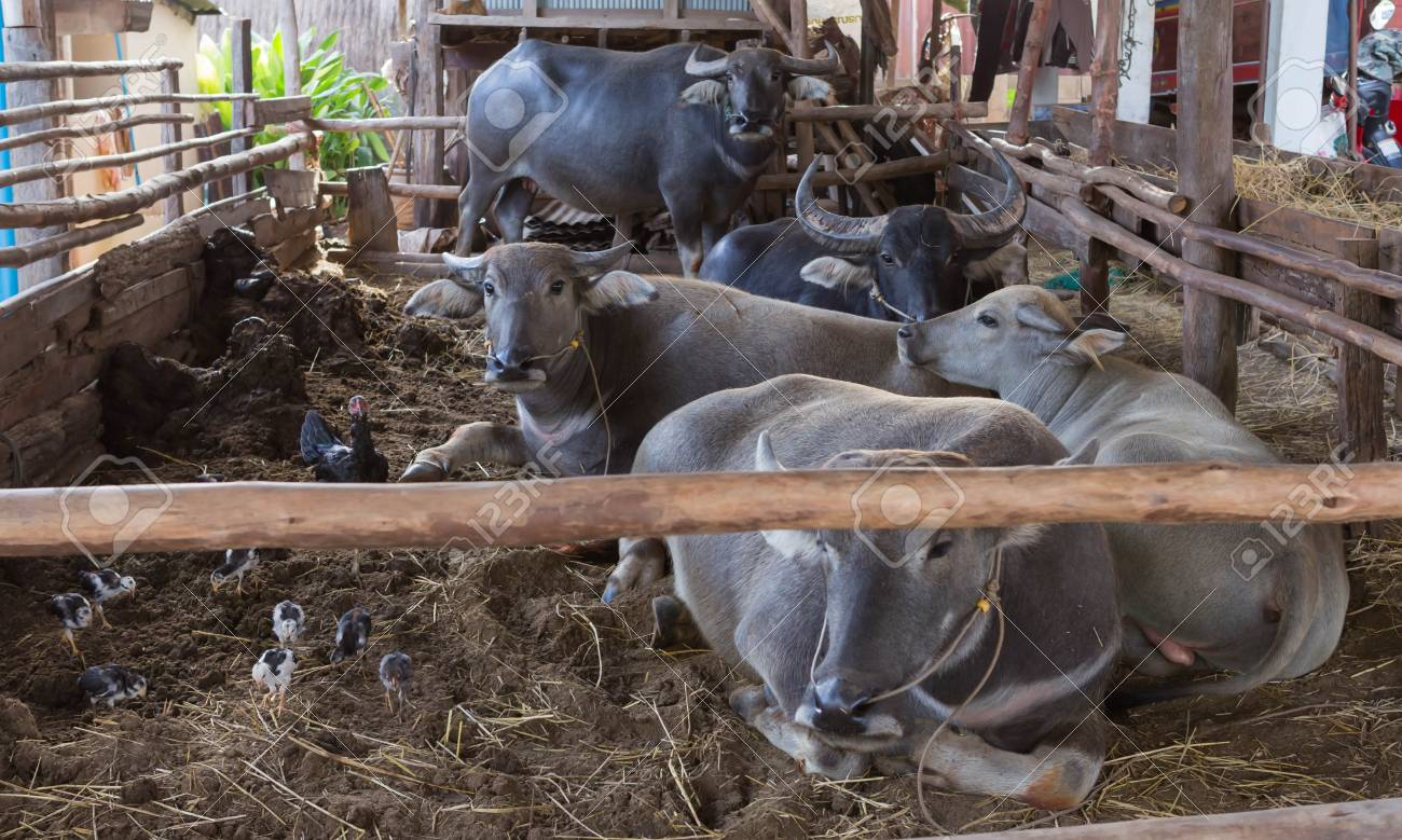 e75e8d99fec Buffalo Thailand Are Back In The Stables. Stock Photo, Picture And ...