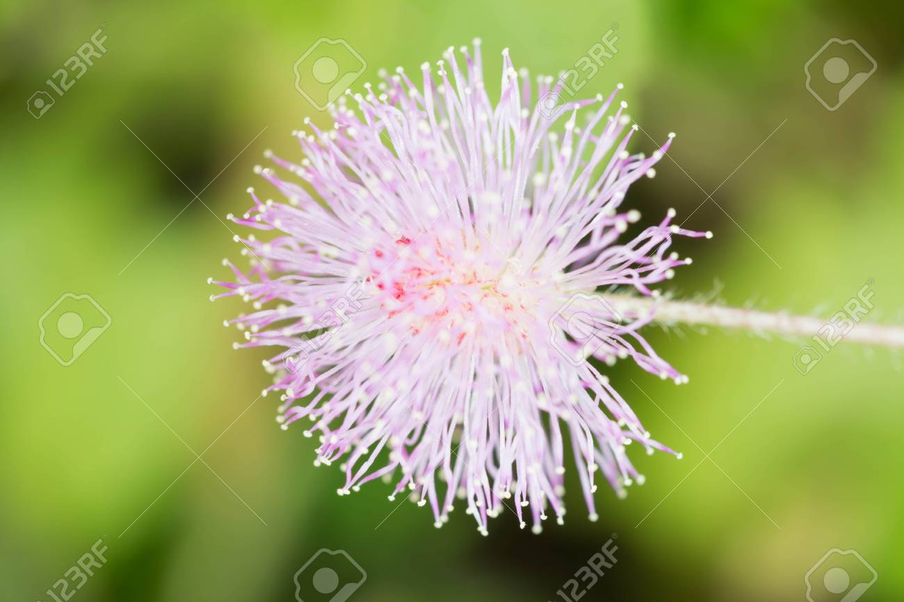Pink Mimosa Flowers In A Field Of Green Forest Stock Photo Picture