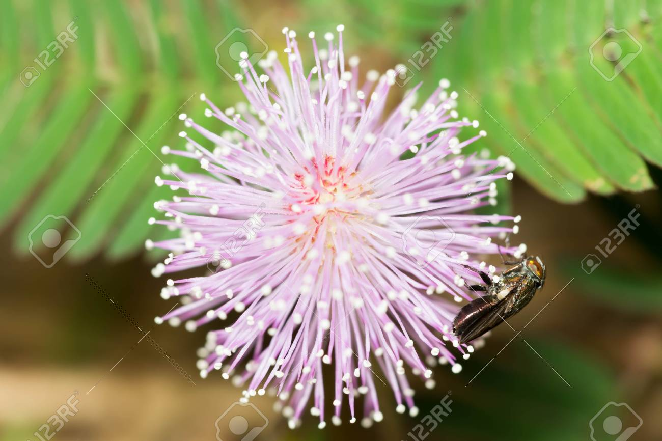 Pink Mimosa Flowers In The Garden Stock Photo Picture And Royalty