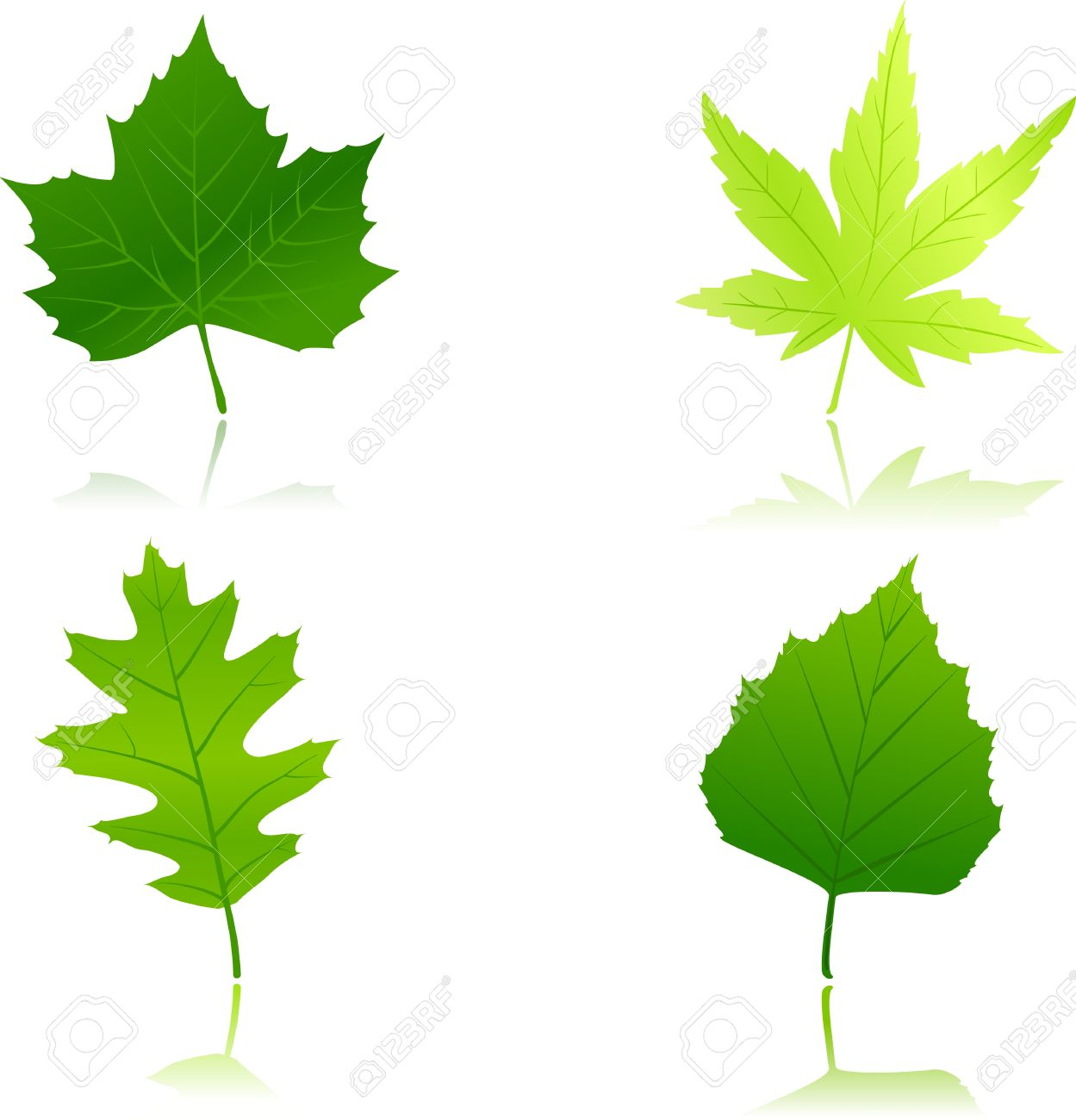 Maple Leaf vs Oak Leaf Maple Chestnut Oak And Beach