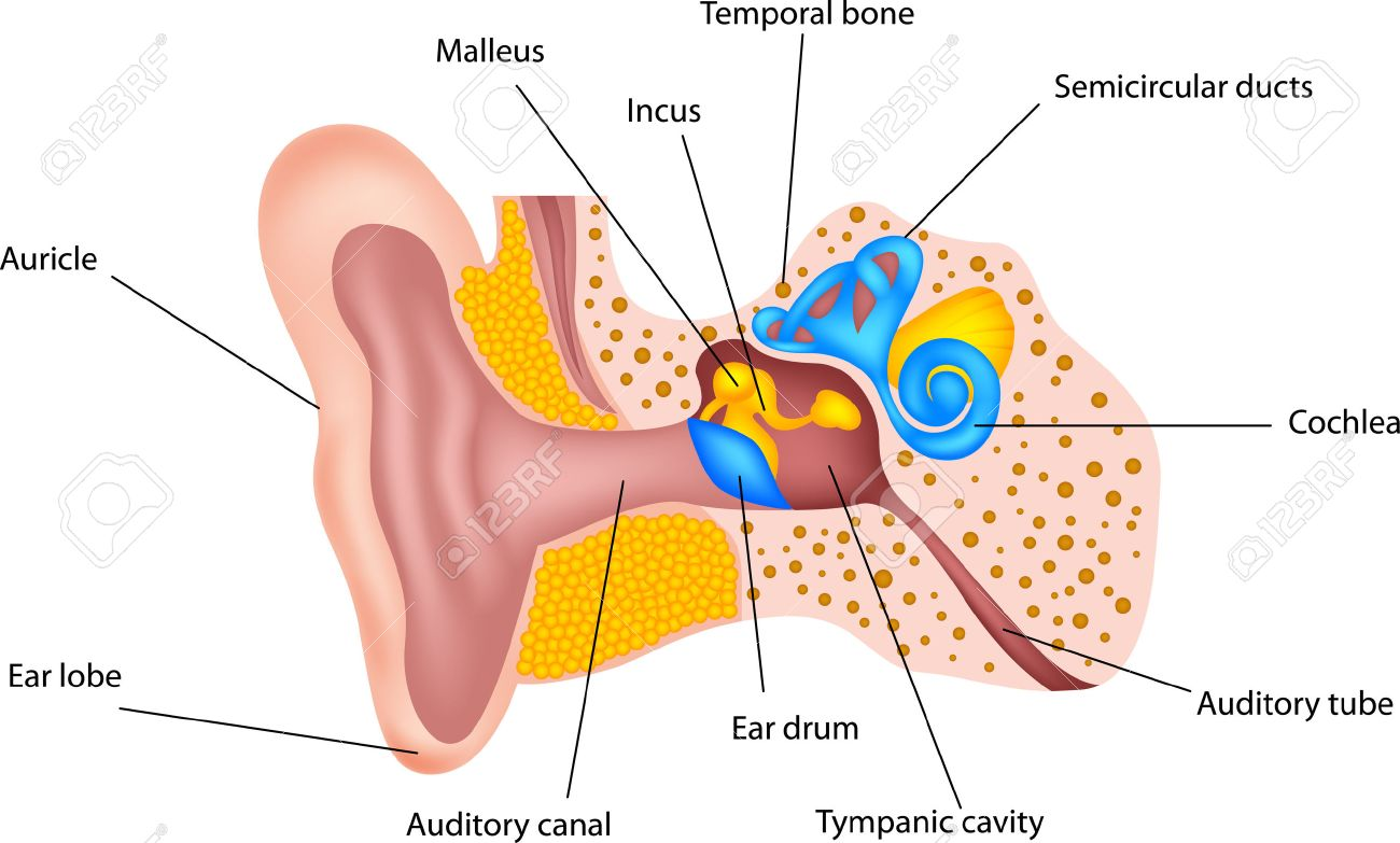 Human Ear Anatomy Royalty Free Cliparts, Vectors, And Stock ...