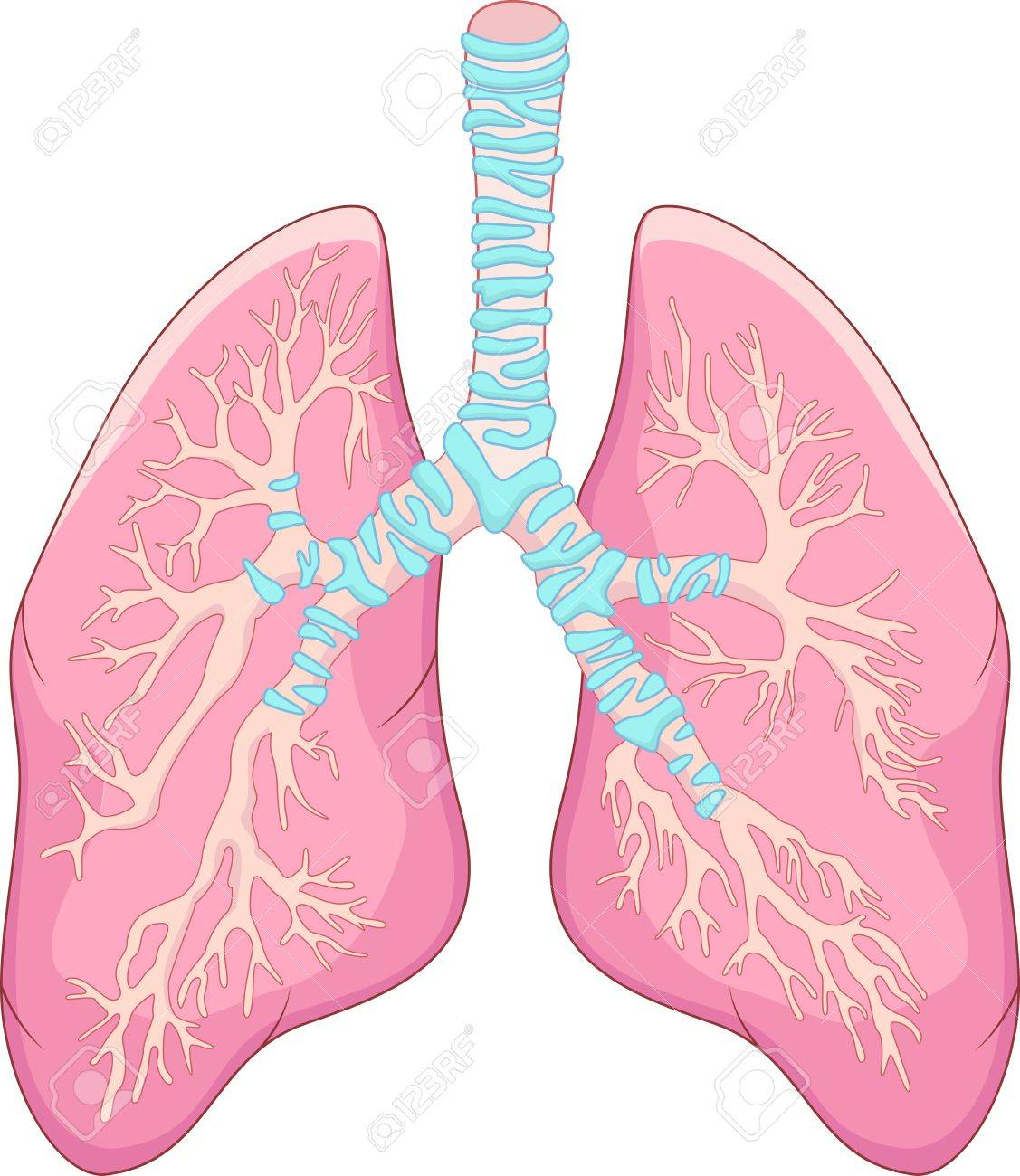 Human lung anatomy Stock Vector - 23075260