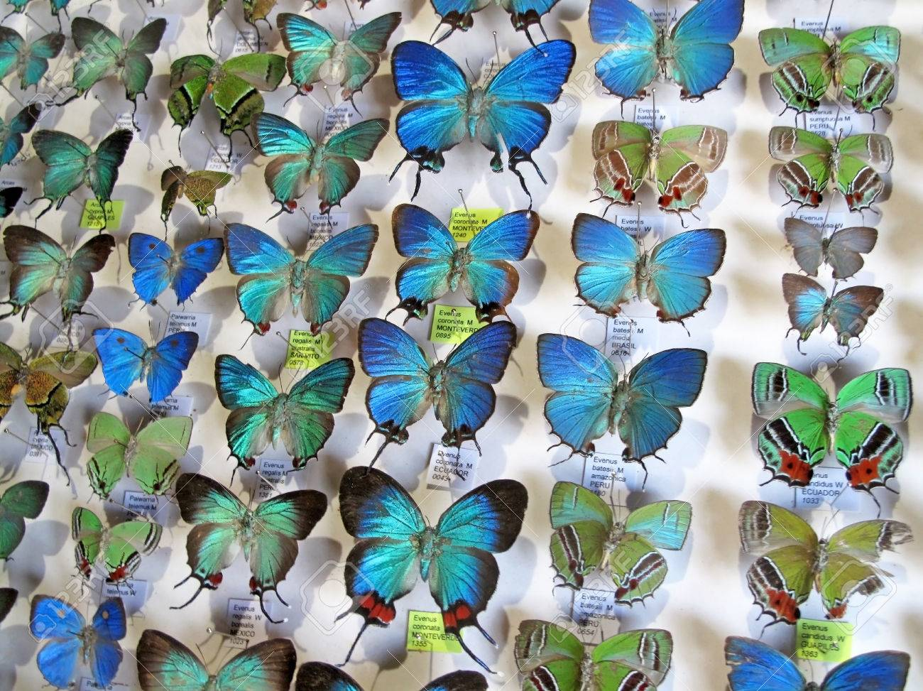 82891867-blue-morpho-butterfly-collectio