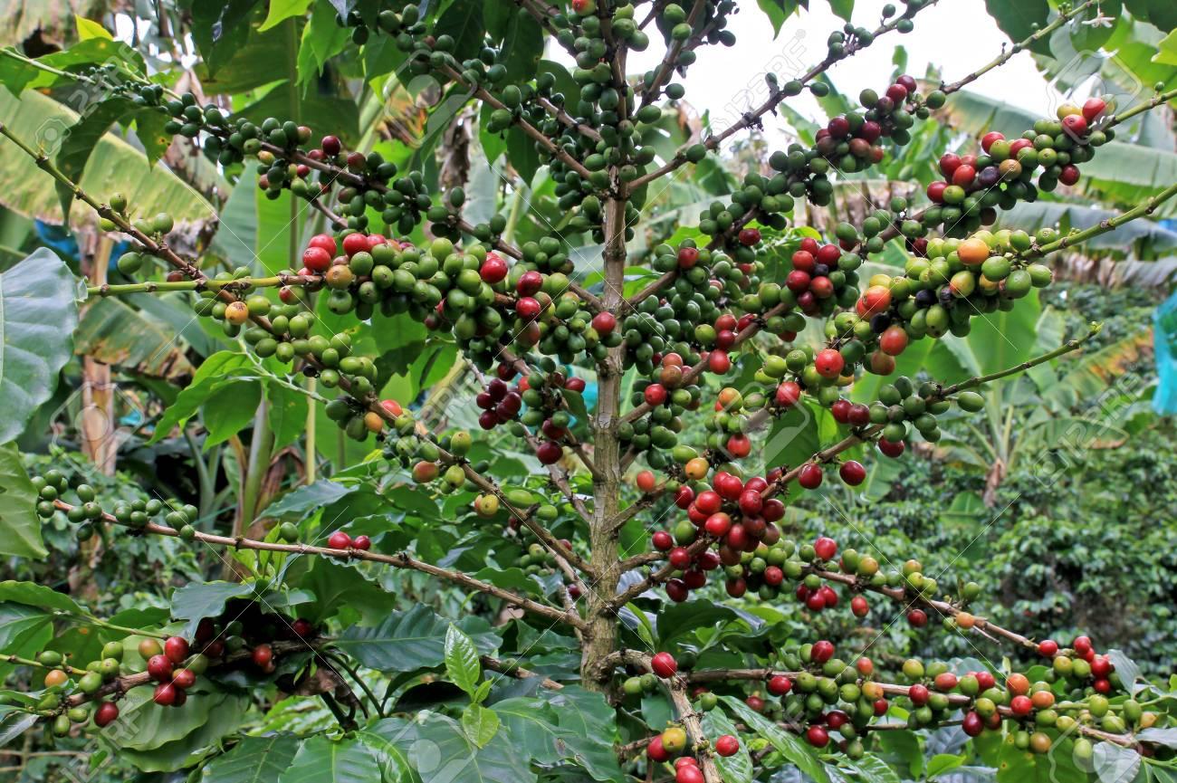 Coffee Bean Coffee Cherries Or Coffee Berries On Coffee Tree