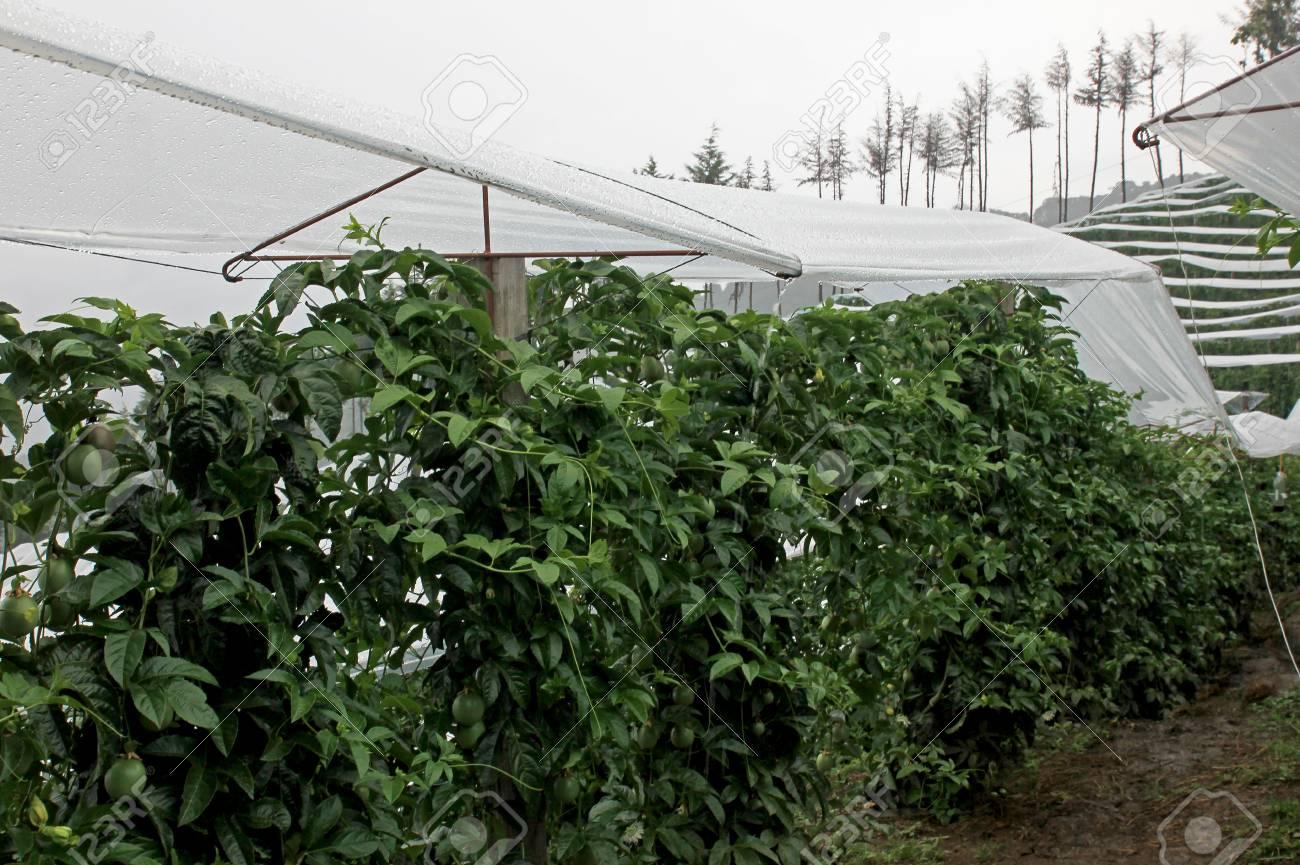 Passion fruit maracuja passiflora edulis on the vine in plantations near el