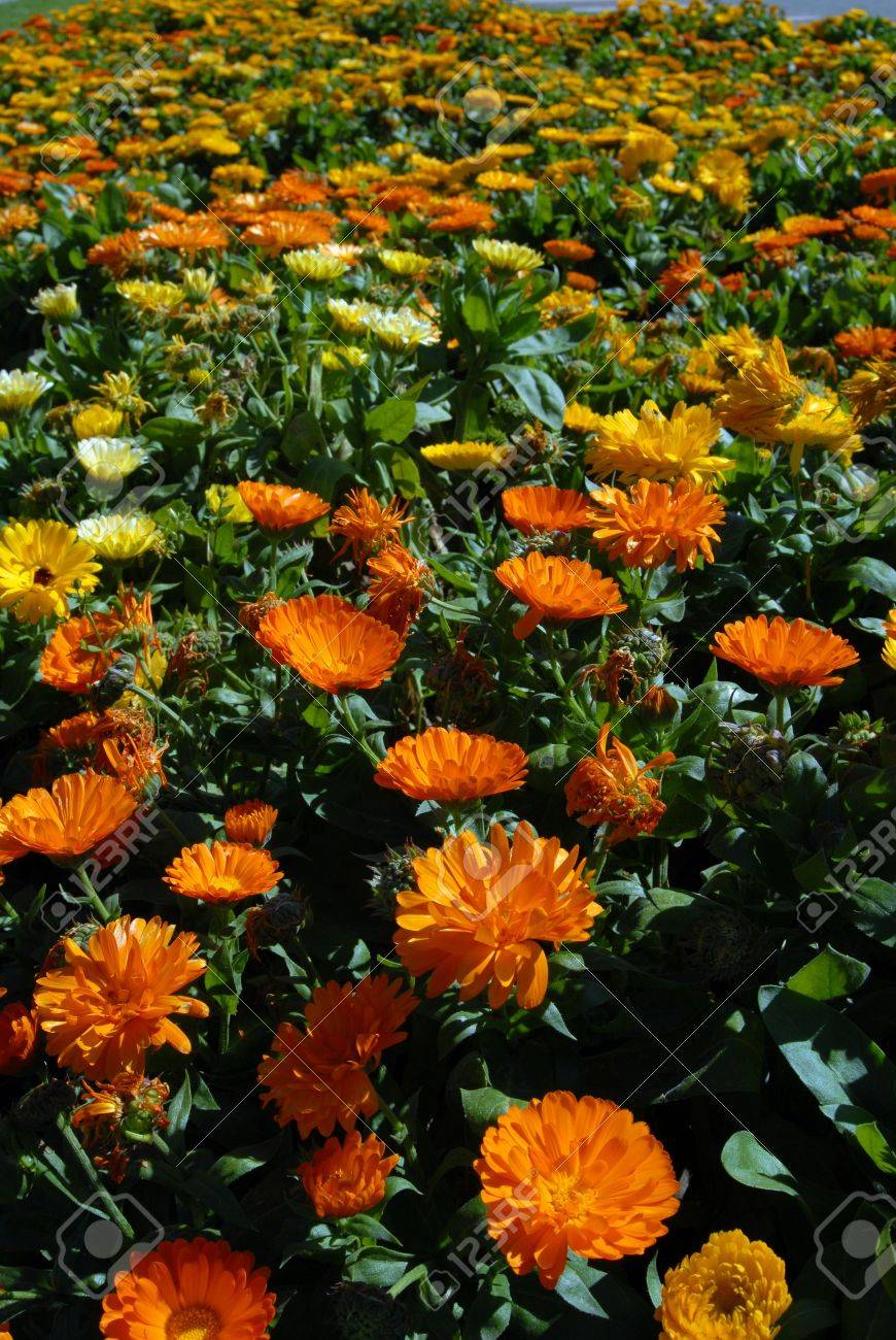 Yellow and Orange Flower Meadow. Beautiful Nature Background. Vertical picture Stock Photo - 5757708