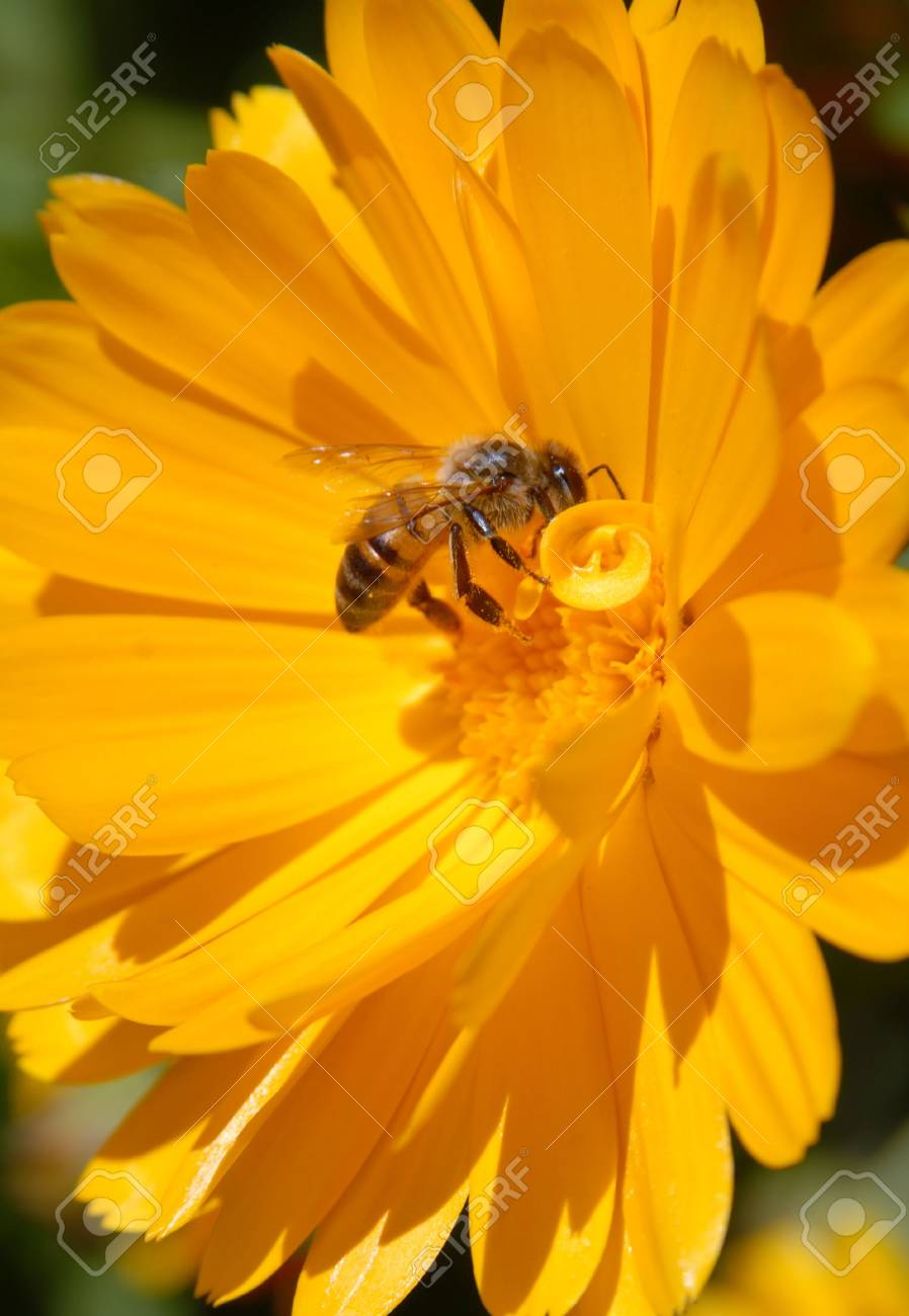 Bee on yellow flower. Close-up shot. Stock Photo - 5769419