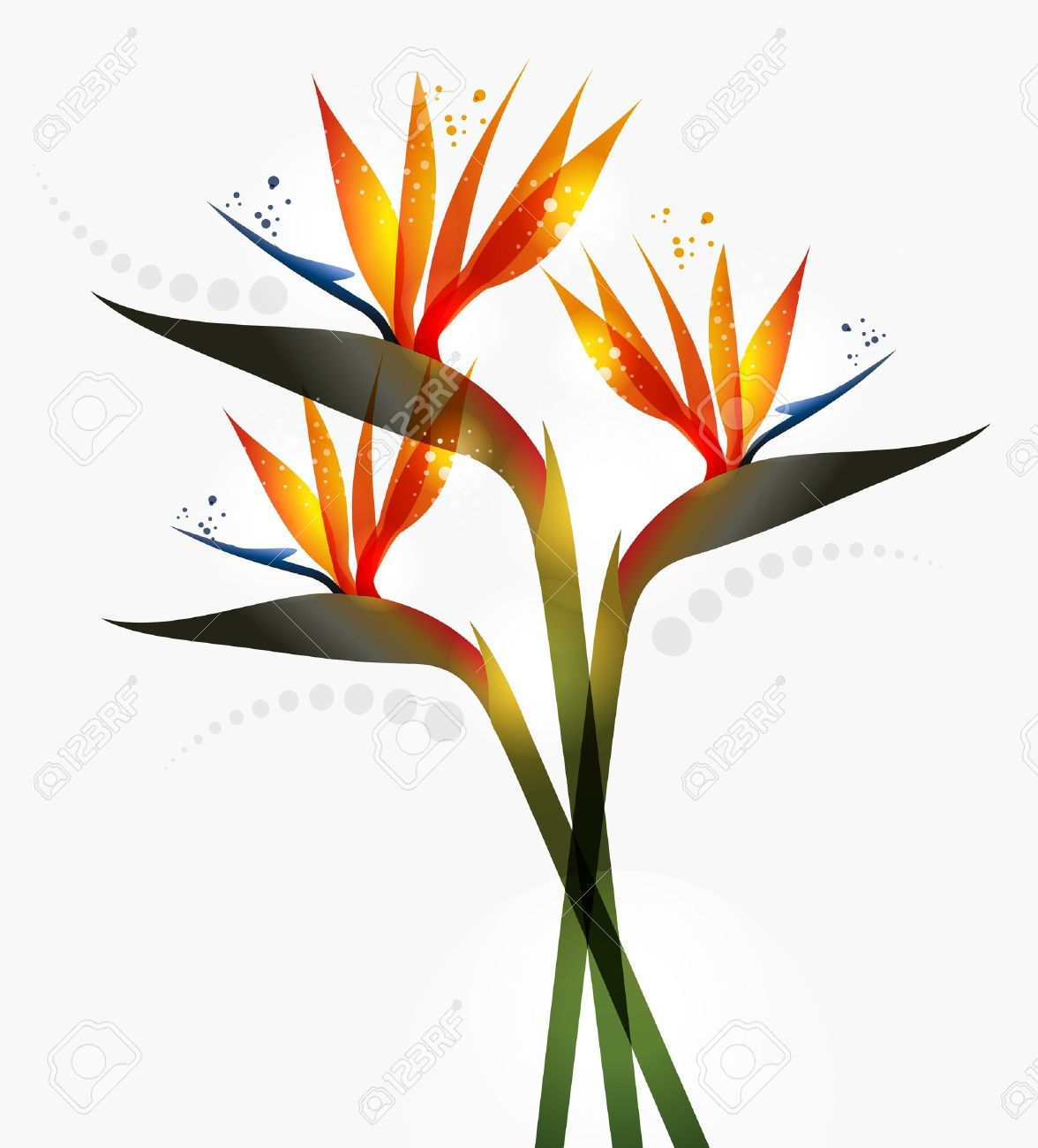 8037 bird of paradise stock illustrations cliparts and royalty bird of paradise flower isolated over white background eps10 file version this illustration contains buycottarizona