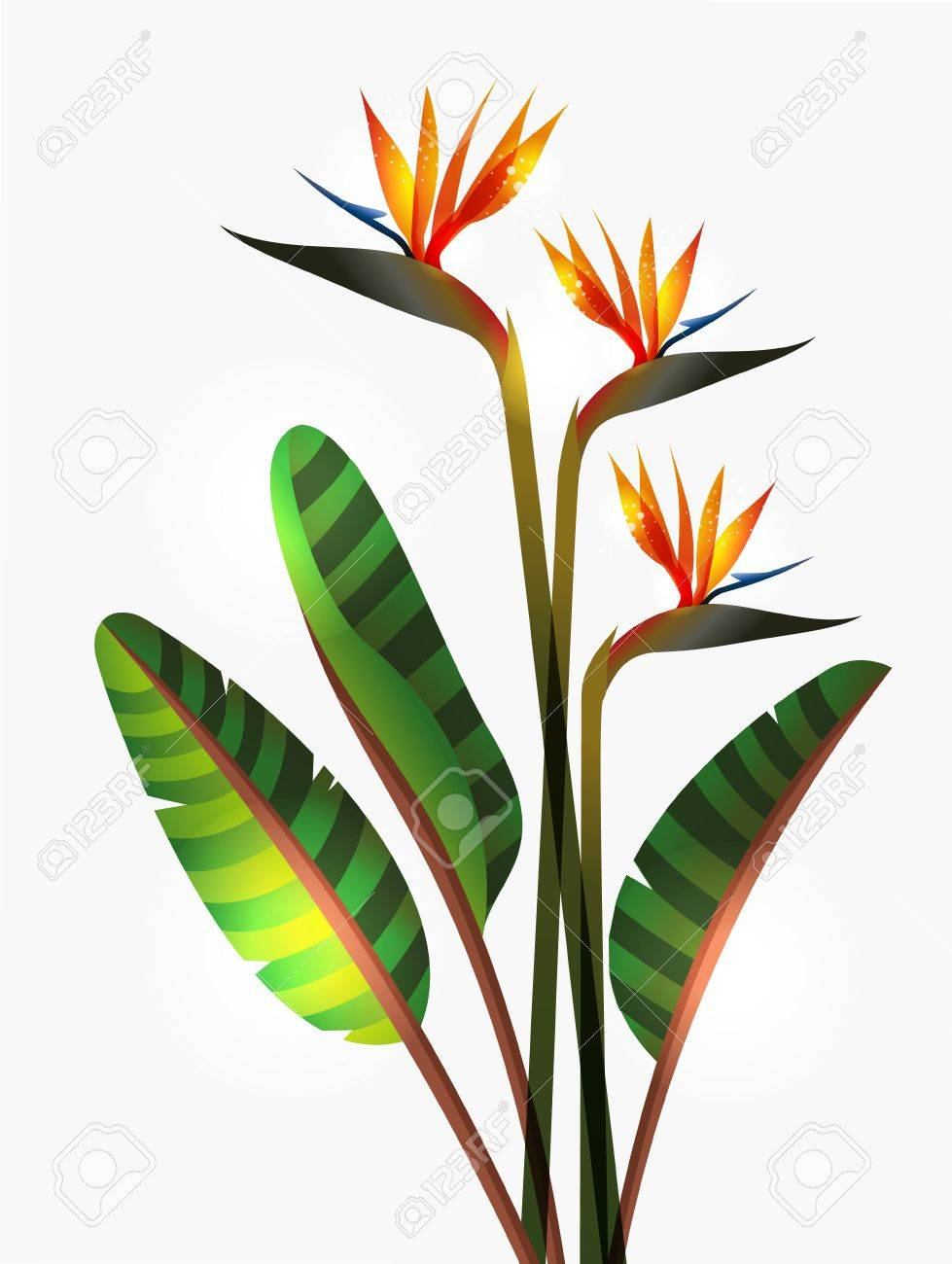 bird of paradise images u0026 stock pictures royalty free bird of
