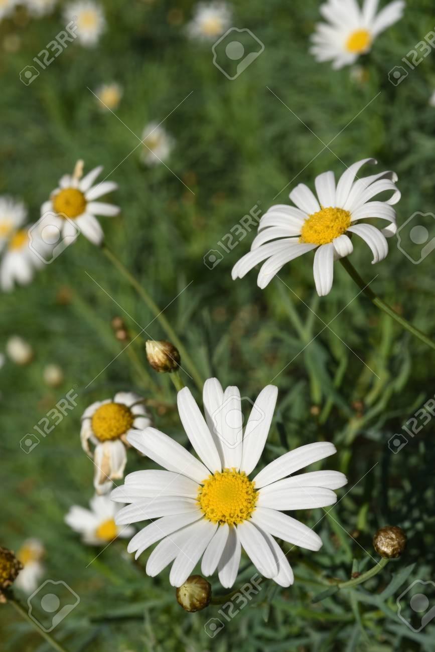 Green nature scenery field of wild daisy flowers on summertime green nature scenery field of wild daisy flowers on summertime stock photo 65358094 izmirmasajfo