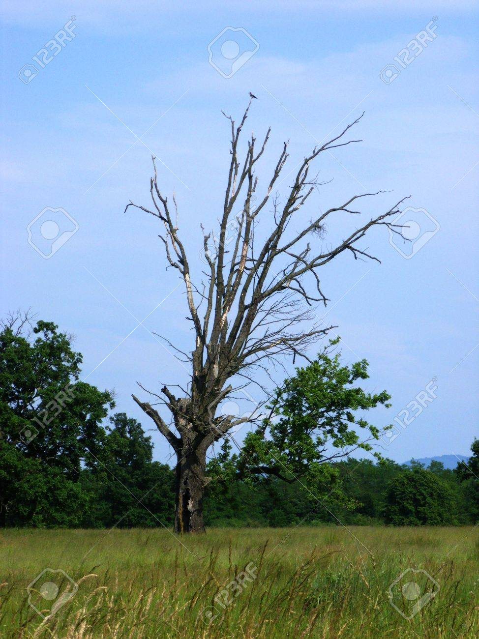 dry death tree with a crow living in its branches Stock Photo - 9741860