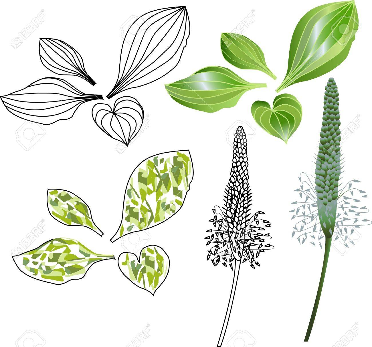 set of leaves and flowers of plantain Stock Vector - 17170899
