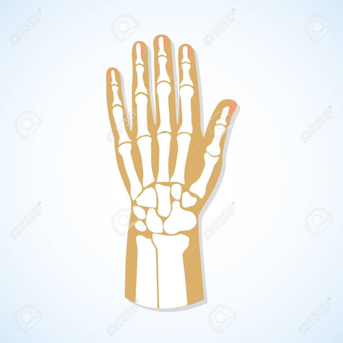 El Diseño Plano De La Mano Y El Esqueleto Mano. Ilustración Del ...