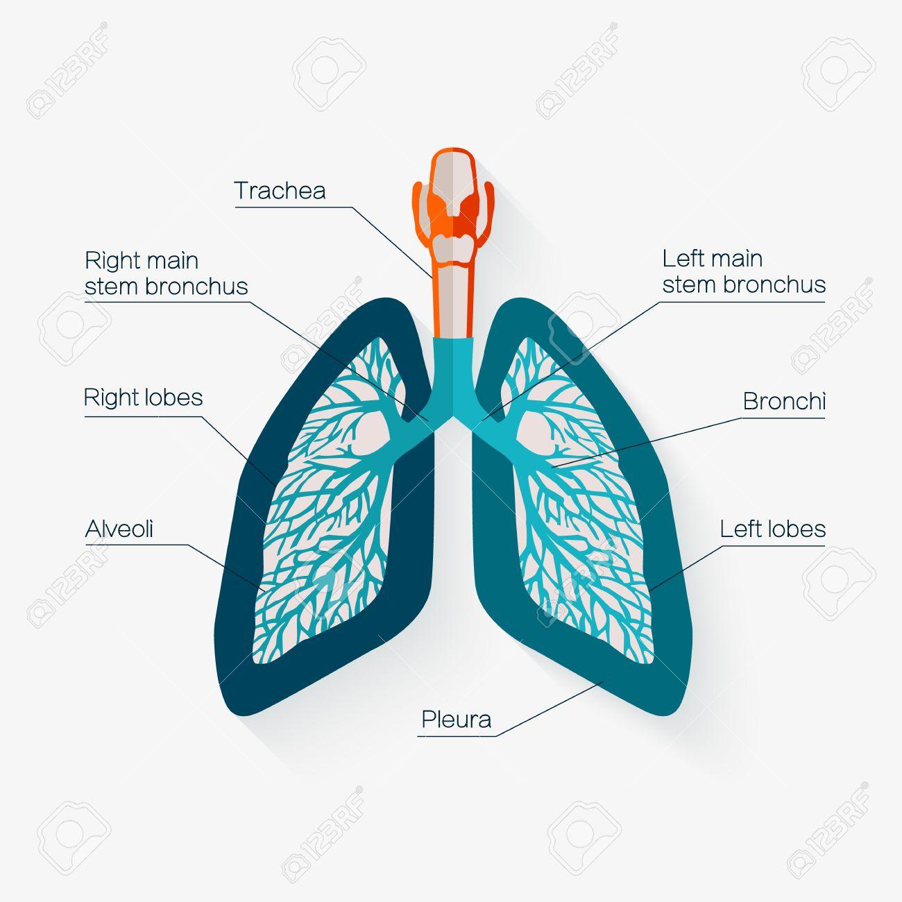 Icono Del Diseño Plano De Los Pulmones Humanos. Diagrama De La ...